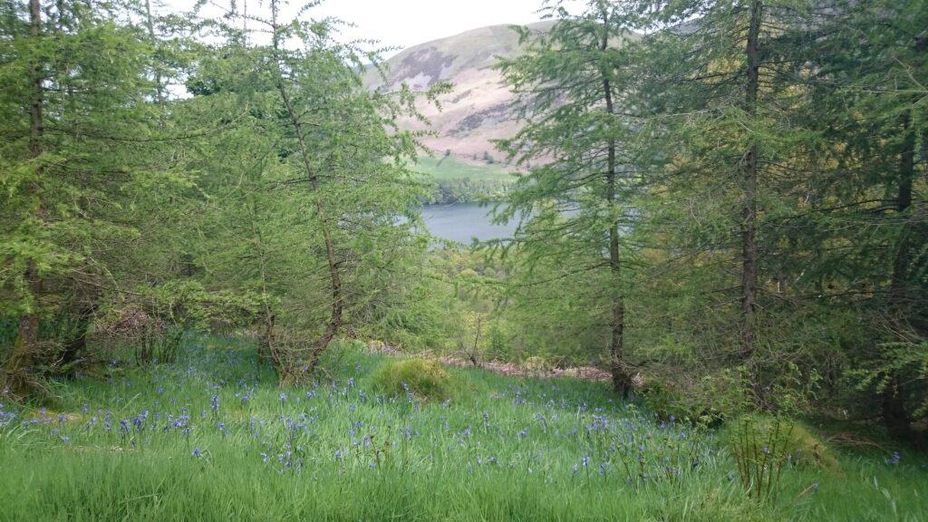 Bluebells on the path with Loweswater in the background