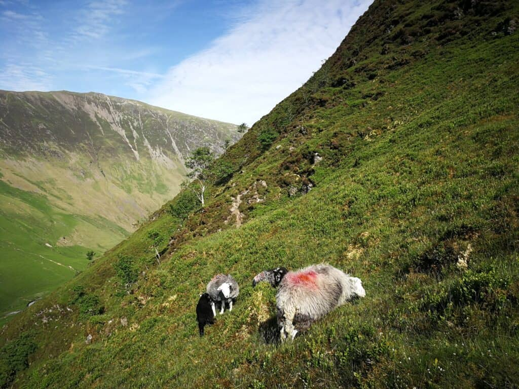 On the look out for Fanny Mercer's white cross. All we found we Herdwick Sheep grazing