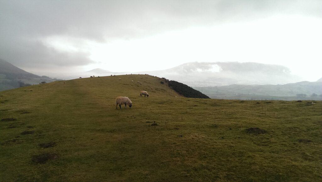 Walking along the summit of Latrigg, with the Herdwick Sheep